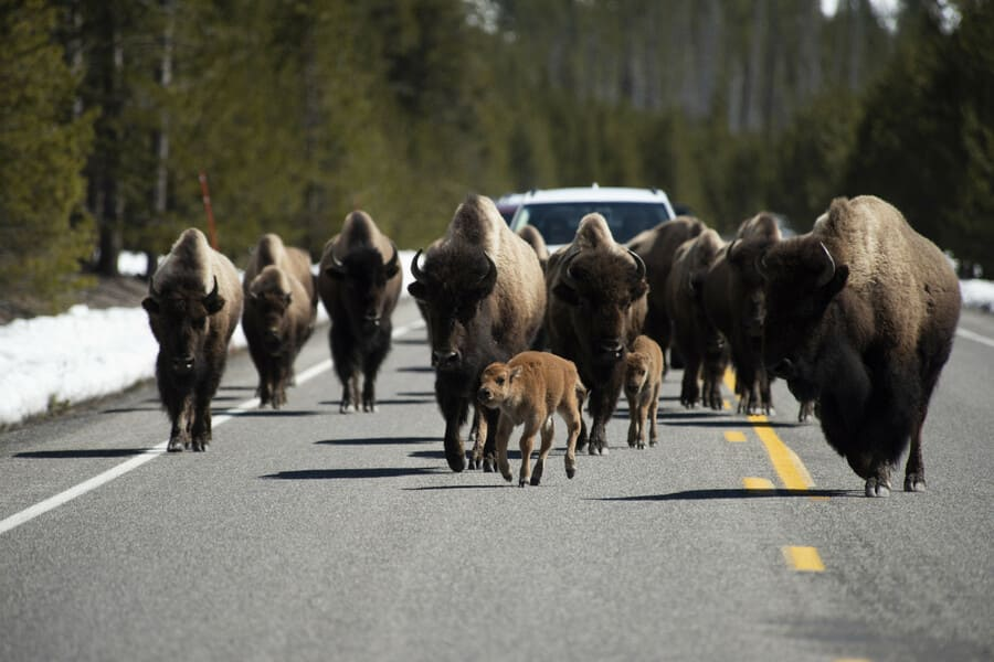 More Bisons at Yellowstone National Park