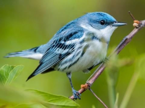Cerulean Warbler -Shenandoah National Park Birds