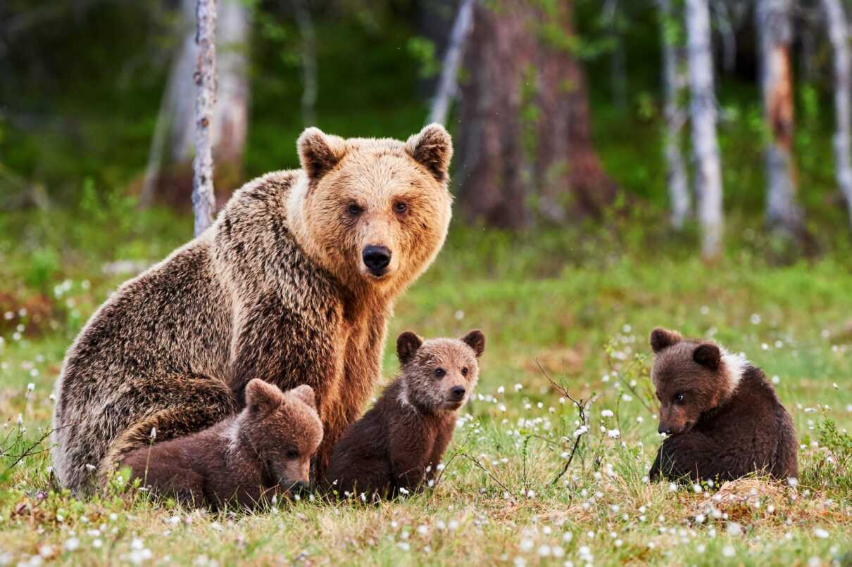 Bears on Great Smoky Mountains: The most popular National Park in the US