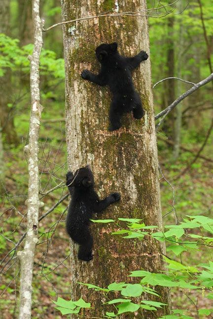 Great Smoky Mountains 2021, US National Park - Bears